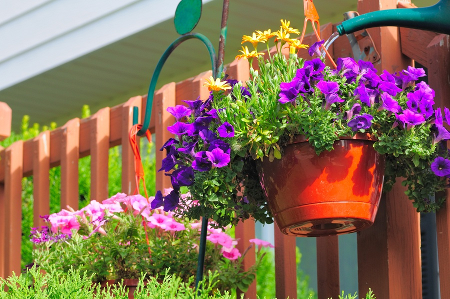 bigstock-Petunia-Watering-22061159.jpg